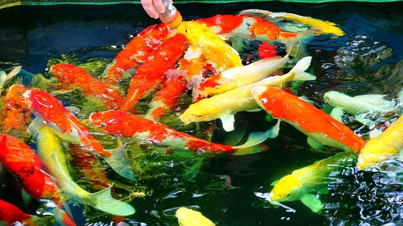 Red Yellow White Pond Carp Fancy Carp Fish Sea Life Underwater No People Water Animals In The Wild Nature Swimming Large Group Of Animals Animal Themes Close-up Day Freshness