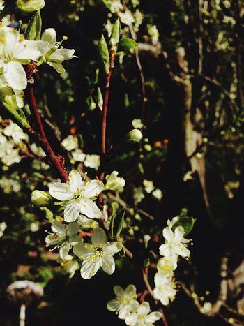 Cherry Kirschbaumblüten Frühling Frühlingserwachen