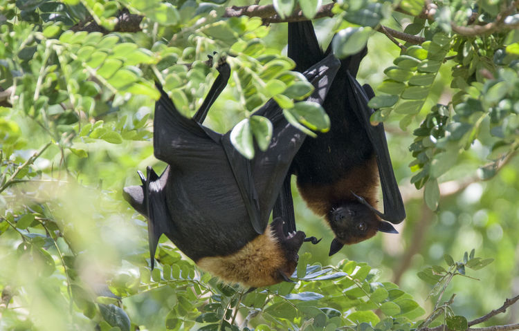 Foxbats in Thailand ASIA Bat Thailand Animal Themes Animal Wildlife Animals In The Wild Bat - Animal Beauty In Nature Close-up Day Forest Fox Fox Bat Foxbat Fruit Growth Mammal Nature No People Outdoors Rare Wild Wildlife