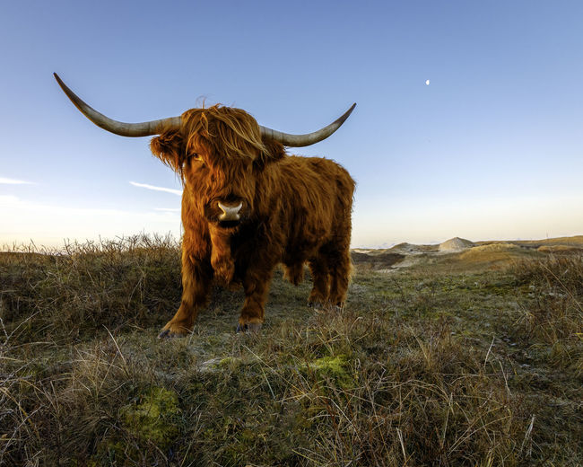 A highland cattle in the dunes of Bergen aan Zee in North Holland Holland Bull Sunrise Dunes Nordsee Northsea Bergen Aan Zee Highland Cattle EyeEmNewHere