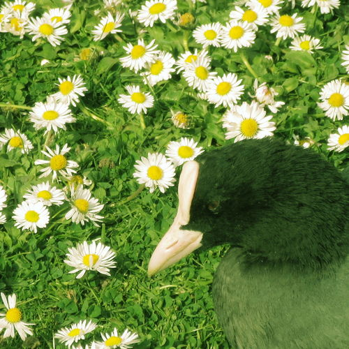 Animal In Nature Beauty In Nature Blooming Botany Close-up Cute Daisy Day Duck Elevated View Flower Flower Head Freshness Green Color Growth In Bloom Outdoors Plant Relaxing Relaxing Moments Tranquility Yellow