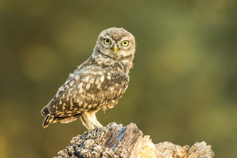 Athene Noctua Animal Animal Themes Animal Wildlife Animals In The Wild Bird Bird Of Prey Close-up Day Focus On Foreground Little Owl Nature No People One Animal Owl Perching Rock Rock - Object Solid Vertebrate