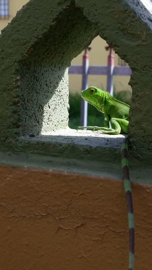 Oki Doki Me Voy A Otro Lugar Animal Wildlife Reptile Iguana One Animal Beauty In Nature