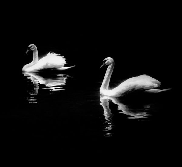 Animals In The Wild Bird One Animal Flamingo Reflection Animal Wildlife Animal Animal Themes Swan Water Bird Lake Swimming No People Water Nature Outdoors Day The Week On EyeEm Black & White Photography Monochrome Photograhy
