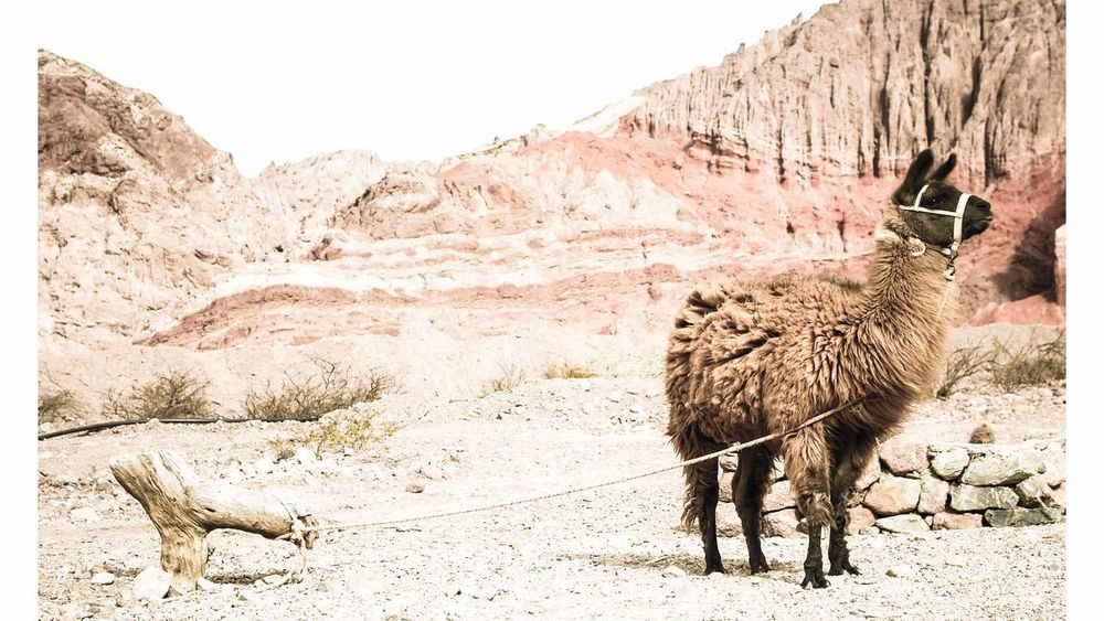 Animal Themes Beauty In Nature Cafayate Day Domestic Animals Livestock Llama Mountain Nature No People Norte Argentino One Animal Outdoors Salta, Argentina Sky