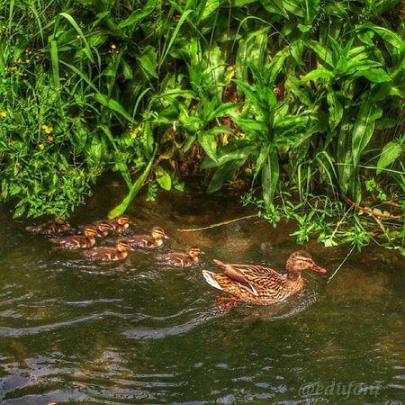 De passeig per la Sèquia , amb la família... Birds ànecs Ocells Bages aigua Catalunya catalunyaexperience gaudeix_cat descobreixcatalunya clikcat