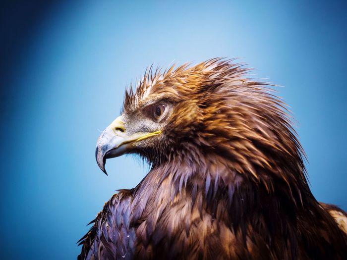 Close-Up Of Golden Eagle Against Blue Sky