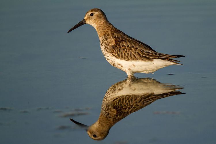 Animal Themes Animal Wildlife Animals In The Wild Bird Bird Photography Calidris Alpina Day Dunlin European Birds Nature Nature Photography No People Outdoors Reflection Shorebird Wader Western Palearctic Wildlife & Nature Wildlife Photography