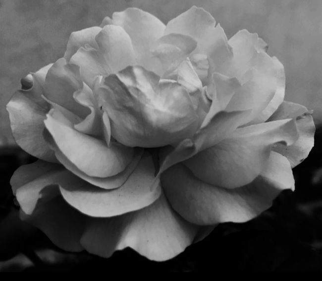 Flowers Home At My House <3 Shades Of Grey Edited With Aviary Taken & Edited With My IPhone Taken & Edited By Me B&w B&w Photography Blackandwhite