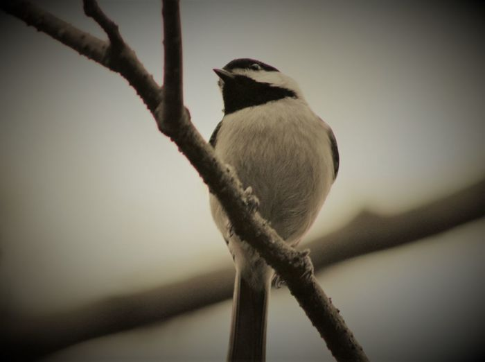 Animal Themes Animals In The Wild Bird Canonphotography Chickadee Close-up Day Manual Focus No People One Animal Outdoors Perching Popular Photos