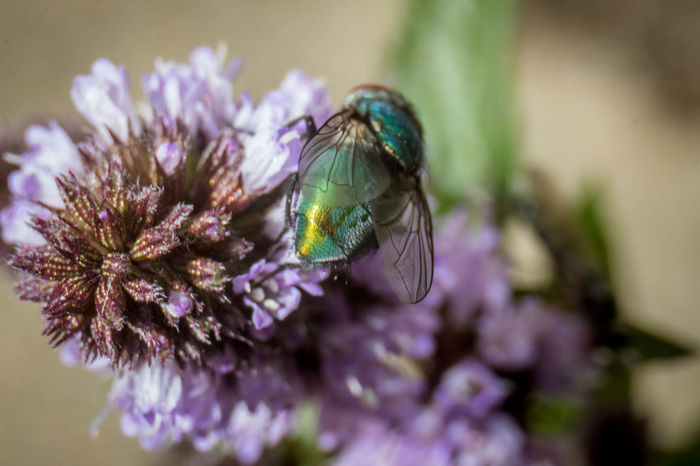 Green fly Macro Photography Flower Green Fly Growth Insect Macro Nature One Animal Pollination Purple Flower