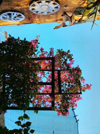 Bougainvillea Pink Sky Flower Paradise Alegría Jardim Garden Bons Fluidos Quintal Backyard