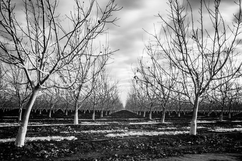Almond Tree California California Dreamin Beauty In Nature Blackandwhite Blackandwhite Photography Day Landscape Nature No People Outdoors Sky Symmetrical Symmetry Tranquility Tree