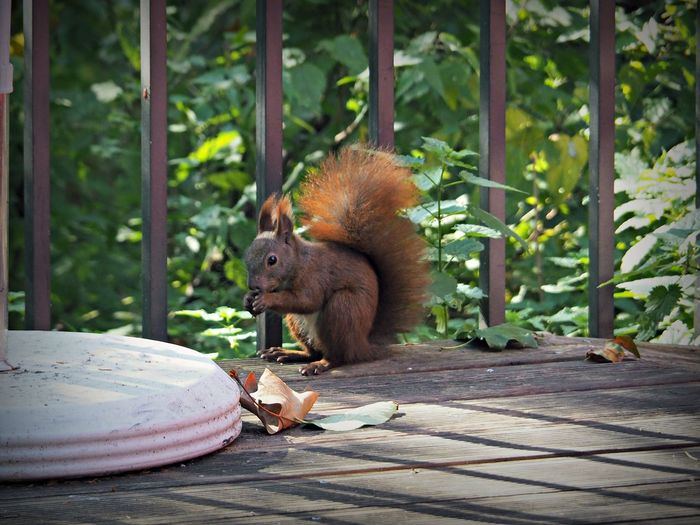 Red squirrel on porch by plants