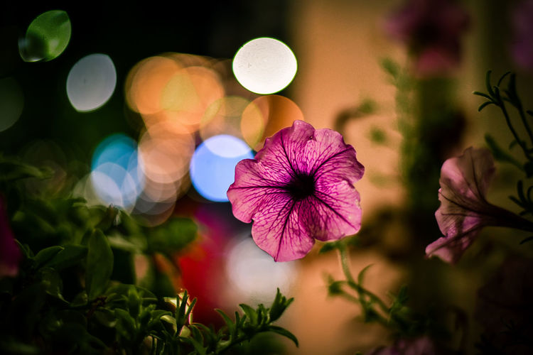 Flower Flower Head Beauty In Nature Plant Night Fragility Nature No People Close-up Outdoors Freshness Nature