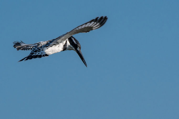 Pied Kingfisher hovering EyeEm Birds Kingfisher Pied Kingfisher Animal Animal Themes Animal Wildlife Animals In The Wild Bird Blue Clear Sky Copy Space Day Flying Low Angle View Mid-air Motion Nature No People One Animal Outdoors Sky Spread Wings