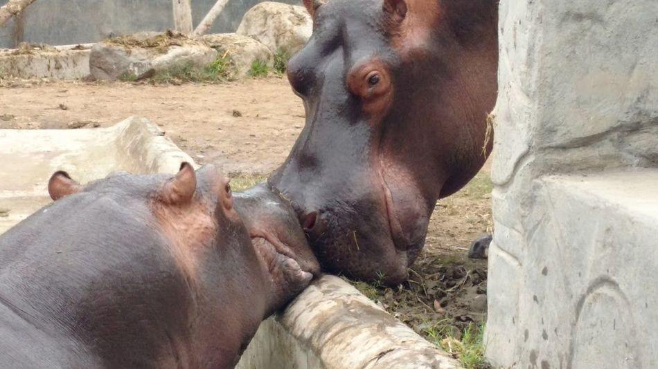 Animal Love Hippopotamus Kiss Love Amor Hipopotamó