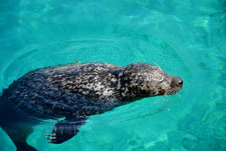 Close-up of seal swimming in water