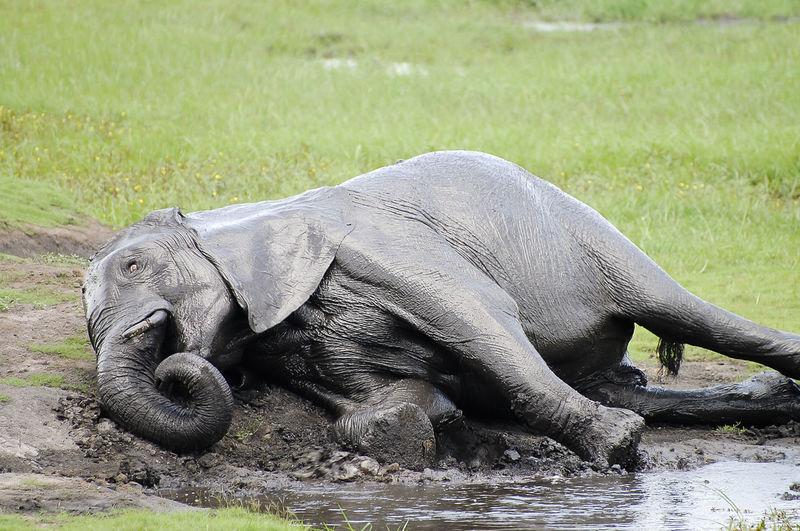 Elephant Mud Bathing Botswana Chobe National Park Africa Elephant Mud Bath Wildlife
