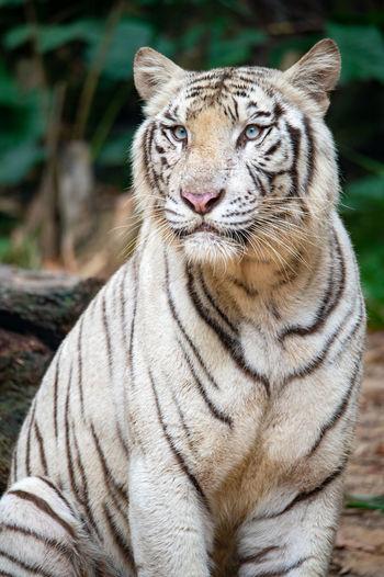 Portrait of a white tiger.