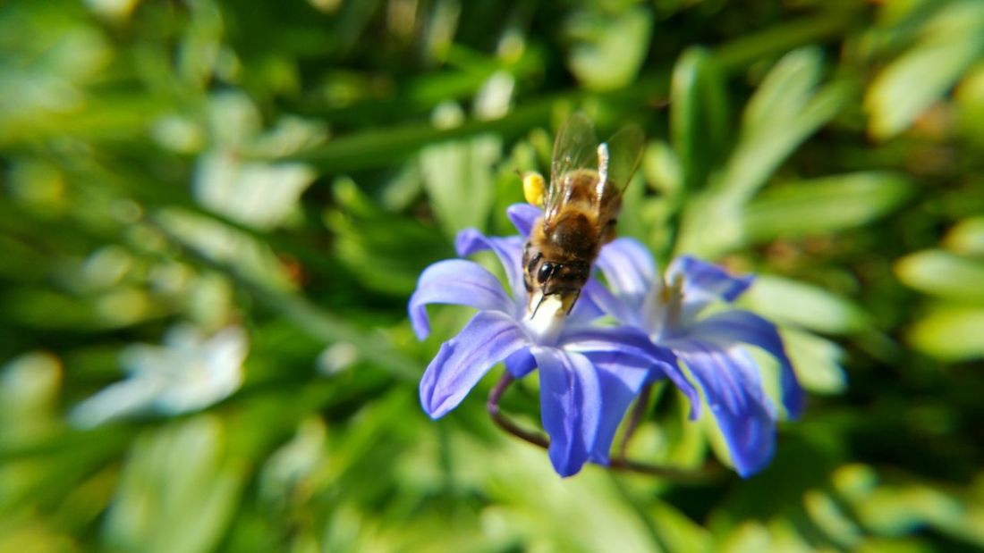 Beauty In Nature Bee Biene Blooming Close-up Dortmund Flower Flower Head Focus On Foreground Fragility Freshness Growth Insect Nature Outdoors Petal Plant Pollen Pollination Purple Rombergpark Scilla Selective Focus Skilla Wildlife