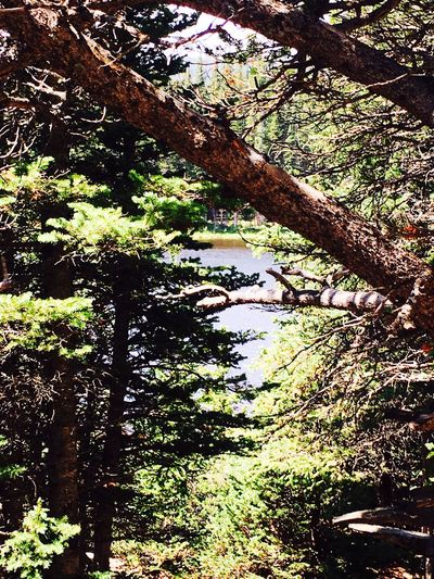 Tree Day Tree Trunk Nature Forest Outdoors Growth No People Tranquility Beauty In Nature Scenics Branch Rosevelt National Forest Colorado