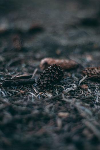 Pinecone laying