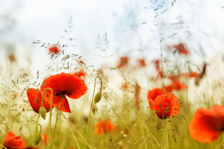Early summer - poppies in high grass Beauty In Nature Blooming Blume Blüte Close-up Field Flower Fragility Freshness Growth Klatschmohn Klatschmohn 🍀 Klatschmohnw Mohnblume Mohnblumen Mohnblumenfeld Nature Plant Poppy Red