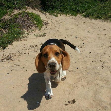 Beagle Beach Lilly Dog cute