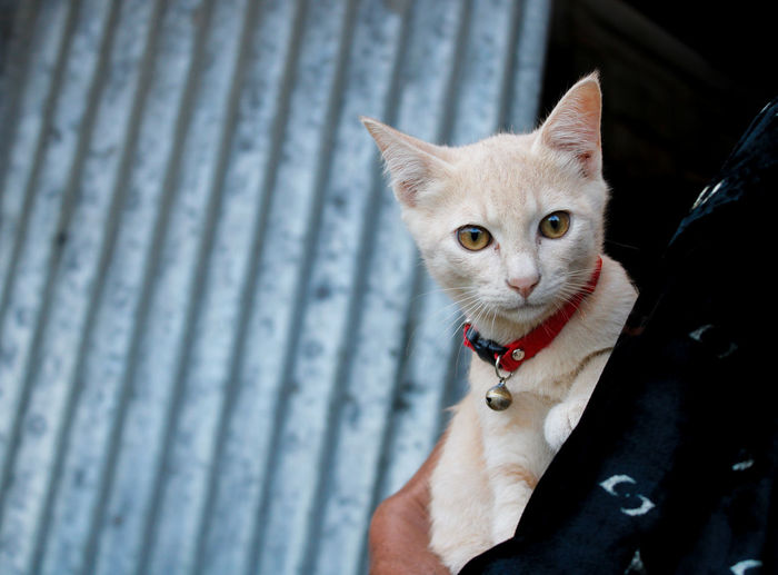Domestic cat on the owner's arms