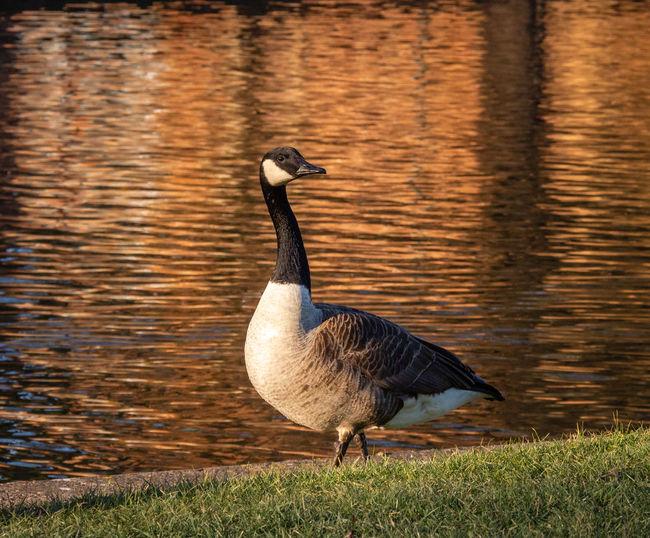 Bird Lakeshore Water Bird Outdoors Canada Goose Goose No People Focus On Foreground Water Animal Day Sunset Orange Color