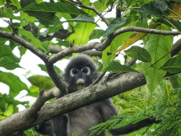 Dusky leaf monkey with leaf in his mouth. EyeEmNewHere EyeEm Nature Lover Dusky Leaf Monkey Tree Animals In The Wild Animal Themes Looking At Camera Animal Wildlife One Animal Mammal Monkey Nature No People