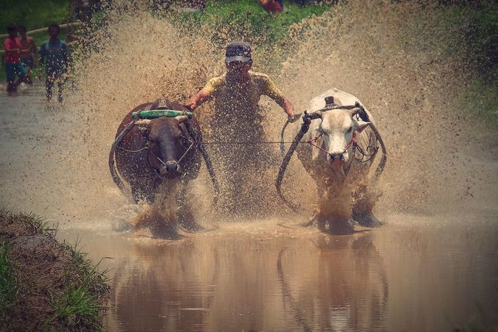 Pacu Jawi Taking Photos Hello World Pacu Jawi Cow Race West Sumatera Tanah Datar