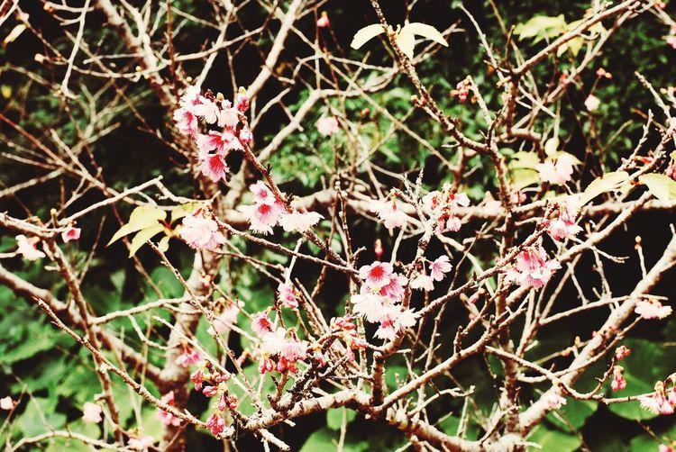 沖縄にサクラが咲いたよ🌸 寒緋桜 カンヒザクラ Prunus Taiwan Charry Charryblossom 寒緋桜 カンヒザクラ Branch Nature Day Twig Outdoors Tree Focus On Foreground No People Beauty In Nature Winter