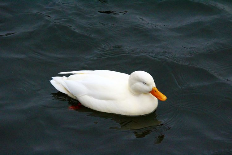 Animal Themes Animal Wildlife Animals In The Wild Bill Bird Bird Photography Birdcollection Birds Eye View Birds Of EyeEm  Close-up Day Duck High Angle View Lake Nature No People One Animal Outdoors Swan Swimming Water Water Bird Water Reflections White Color White Feathers
