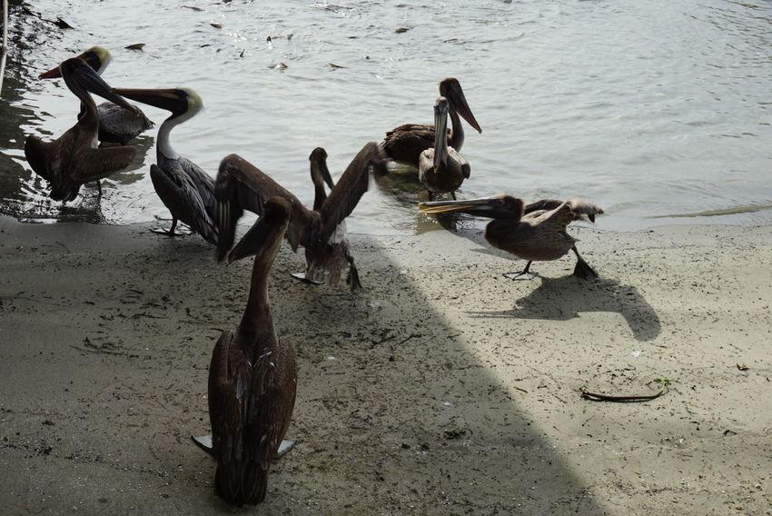 Pelicans Pelicans And Sunset Puerto Rico Laguancha