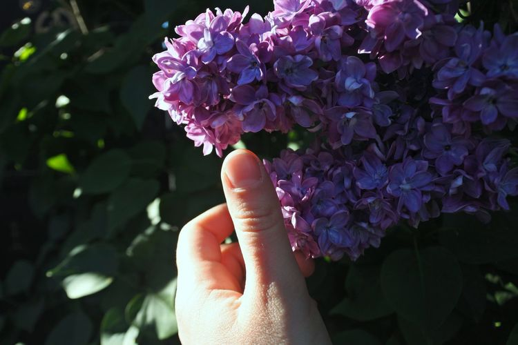 Cropped hand touching purple flowers blooming outdoors