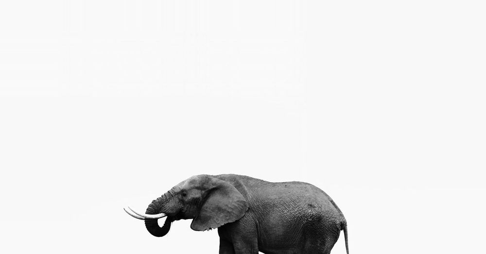 View of african elephant against white background