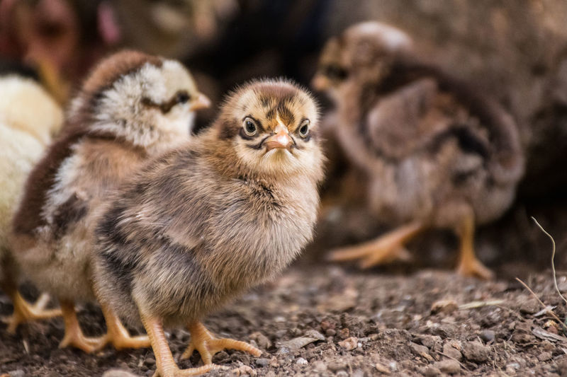 Bird Agriculture Portrait Looking At Camera Young Animal Young Bird Full Length Chicken - Bird Close-up Livestock Baby Chicken Hen Poultry Female Animal Cardinal - Bird Infant Feather  Animal Egg Group Of Animals Chick