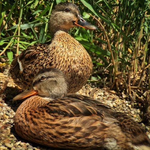 Mallard ducks at lakeshore