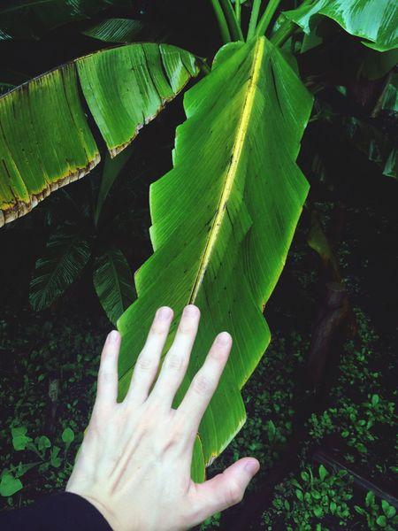 Big leaves of Basho , Japanese Fiber Banana Plant