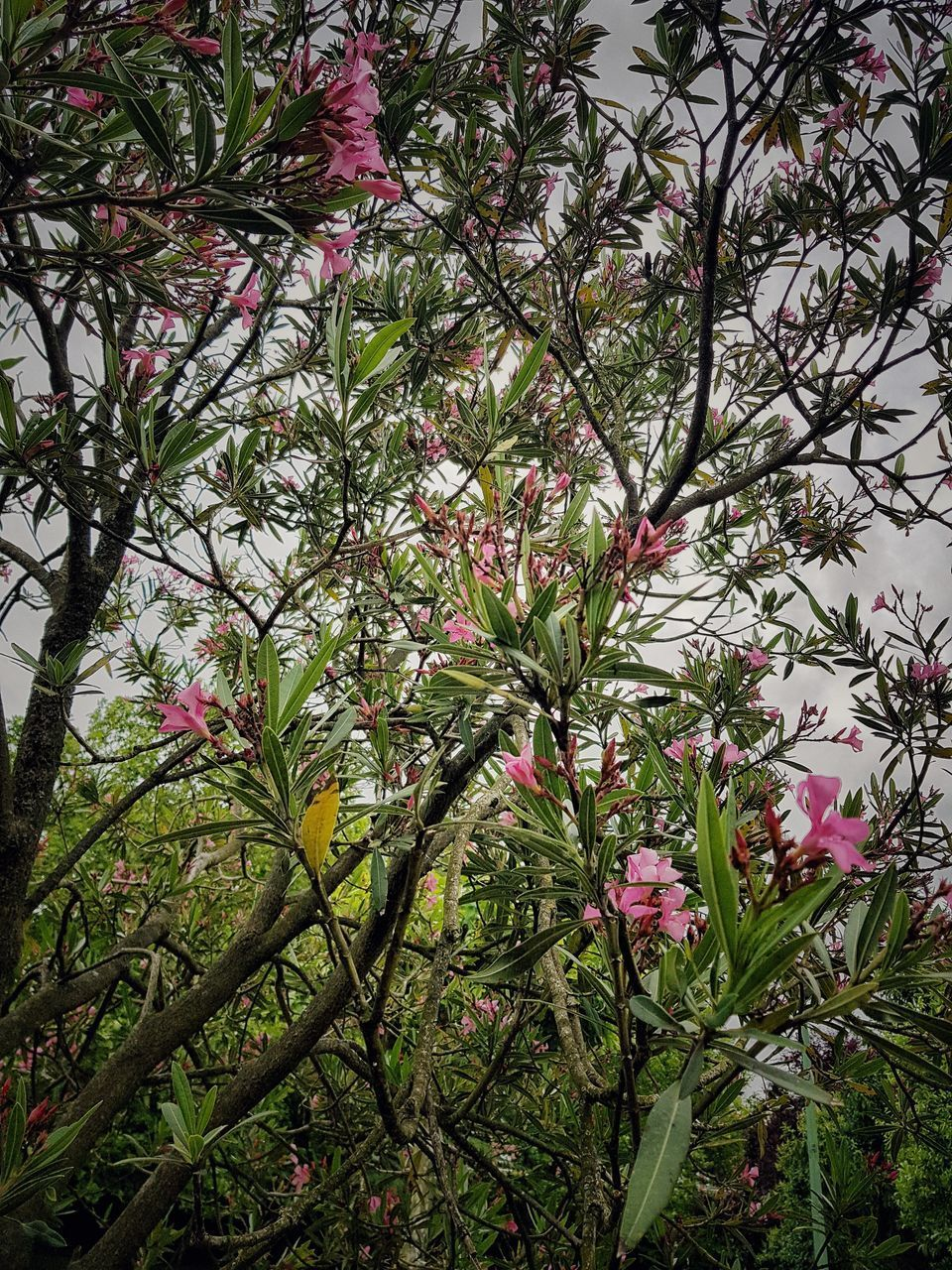CLOSE-UP OF PINK FLOWERING PLANT AGAINST TREE
