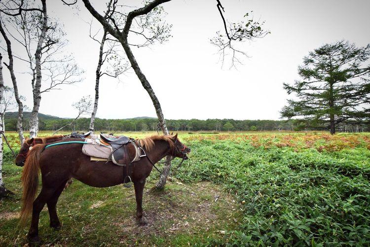 どさんこに乗って釧路湿原を探検してまいりました 馬に身を委ねてゆっくりと回る釧路湿原 広い湿原 他に人はいなく完全にどさんこと我々だけの空間 馬を信頼するって深いな〜としみじみ感じました 湿原には見たこともない植物や昆虫、もちろんキノコもはえていて魅力がたくさんでした 住みたい! #どさんこ #ドサンコ #道産子 #北海道産のウマの品種 #北海道和種 #釧路市 #川上郡標茶町 #阿寒郡鶴居村 #釧路郡釧路町 #釧路川 #塘路湖 #シラルトロ沼 #達古武湖 #エオルト沼 #ポン沼 #サルルン沼 釧路湿原 どさんこ Animal Themes Animal Domestic Animals Mammal Vertebrate Domestic Pets Group Of Animals Livestock Plant Animal Wildlife Horse Day Grass Sky Nature Field Land Outdoors Tree