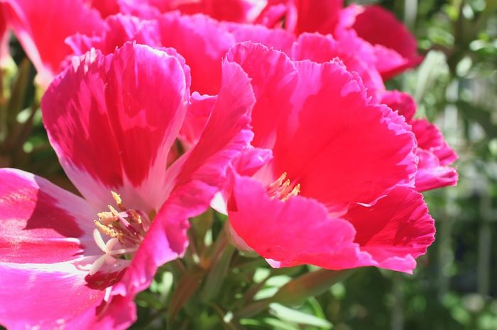 Flower Petal Nature Beauty In Nature Pink Color Fragility Flower Head Plant Close-up Growth Freshness No People Outdoors Blossom Day Stamen Peony