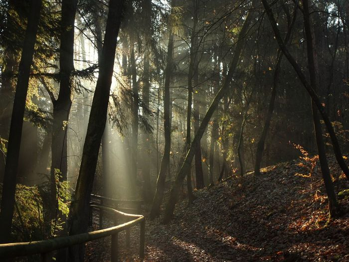 A misty morning in the Franconian forest Nature Fog Tree Sunlight Day Outdoors Forest Tranquility Plant Land Tree Trunk Growth Beauty In Nature WoodLand Trunk Streaming Hazy  No People Idyllic Tranquil Scene Non-urban Scene Scenics - Nature Franconia Bavaria Germany