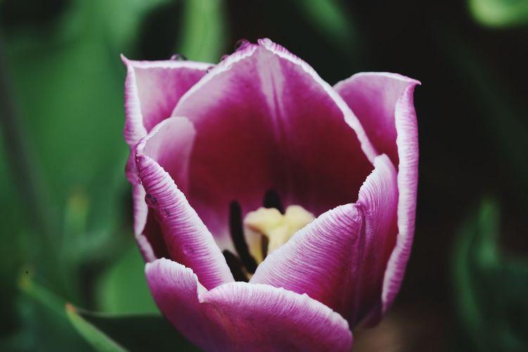 Flower Head Flower Peony  Pink Color Petal Close-up Plant