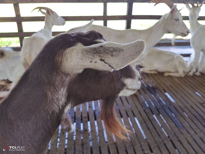 Close-up of goat in pen