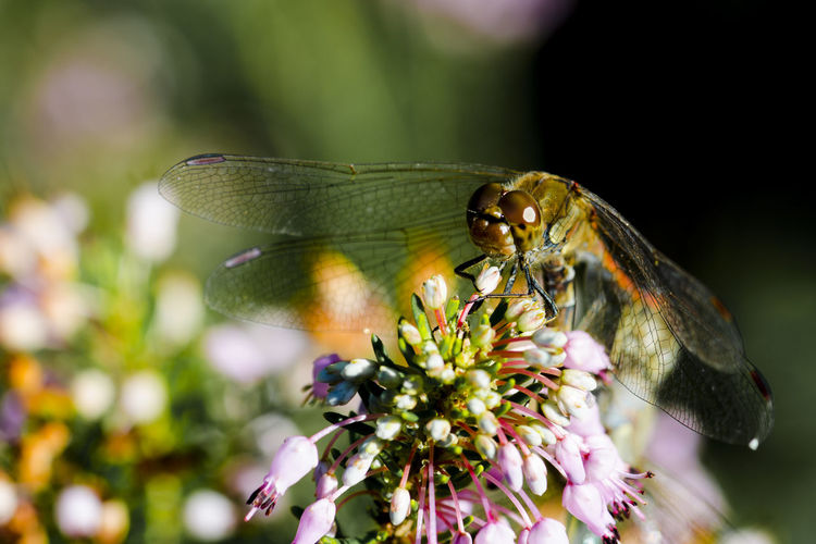 Dragonfly Animal Themes Animal Wildlife Animals In The Wild Beauty In Nature Butterfly - Insect Close-up Day Flower Flower Head Focus On Foreground Fragility Freshness Growth Insect Mayfly Nature No People One Animal Outdoors Perching Petal Plant Pollination Macro Insects EyeEmNewHere