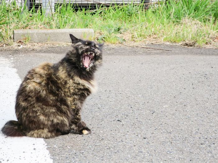 Stray Cat Cats Relaxing EyeEm Best Shots Yawning Cat Yawn Parking Lot Cool Cats  at Enoshima 江の島 in JAPAN