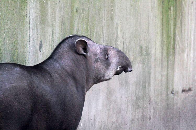 Animal Themes Day Mammal Nature No People One Animal Outdoors Tapir Wondering